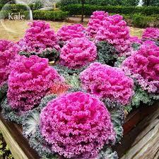 cheap ornamental kale brassica oleracea col flores de invierno 30