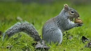 Squirrel In Basement by Downside To Diversity How Grey Squirrels Invade So Easily