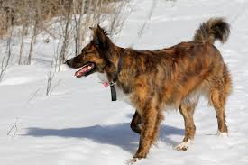 belgian shepherd edmonton december 2011 cabinorganic