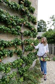 best 25 espalier fruit trees ideas on pinterest fruit trees