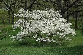 white flowering dogwood princess flowering dogwood cornus florida