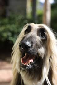 8 month old afghan hound afghan hound pet photography pinterest afghan hound afghans