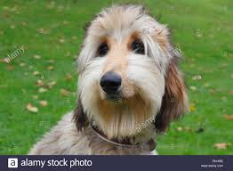 afghan hound dog images afghan hound 6 month old stock photo royalty free image