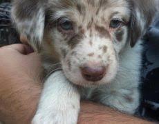 australian shepherd lab puppy aussiedor australian shepherd labrador retriever mix info and