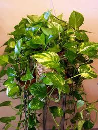pothos plant cheap golden pothos with pothos plant affordable
