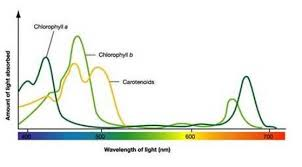 the absorption of light by photosynthetic pigments worksheet answers c photosynthesis biology4isc