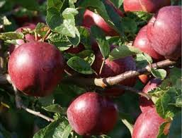 Online Fruit Trees For Sale - spartan apple trees for sale buy online friendly advice
