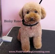 different toy poodle cuts teddybear clip furbabies pinterest poodle dog and animal