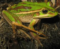 green and golden bell frog wikipedia