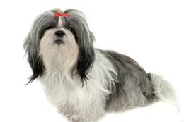 bluetick coonhound dog bluetick coonhound temperament u0026 personality