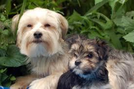 american eskimo dog rescue wichita ks morkies and morkie poo u0027s greater toronto area breeder top quality pups