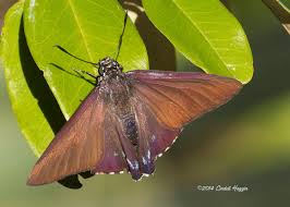 image gallery butterflies and moths of america