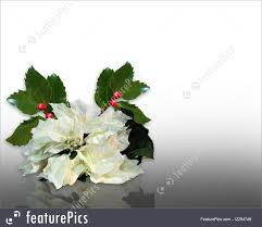 white poinsettia templates christmas and white poinsettia stock