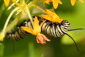 missouri native plant society monarch butterflies could use your help missouri department of