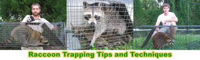 Raccoons In Backyard How To Get Rid Of Raccoons In The Attic House Roof Crawl Space