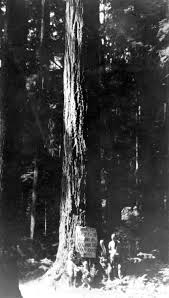 a tree 220 ft high 18 ft circum ference 6 ft diam eter