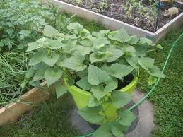 potted sweet potato plants how to grow sweet potatoes in a container
