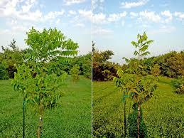 northern pecans pecan trees the 2 foot rule