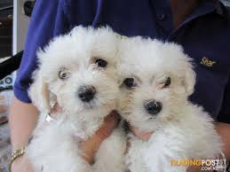 bichon frise dog breeders bichon frise puppies at puppy shack brisbane o7 33566319 for sale