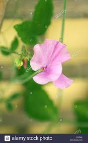 a pink sweet pea flower and red buds against a trellis in soft
