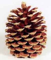 pinecone fractals