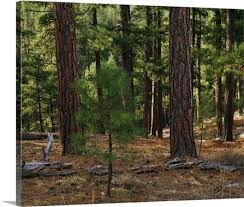 small sapling growing in ponderosa pine tree forest kaibab