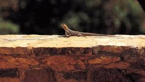 Backyard Reptiles What Do Blue Belly Lizards Need To Survive Animals Mom Me