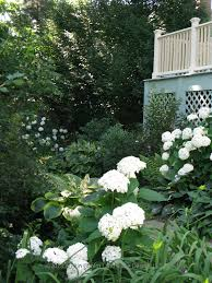 white annabell hydrangea brighten the garden path southport ct
