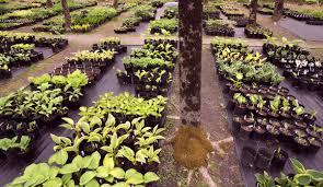 maine s shadiest nursery delights in growing selling woodland