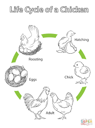 life cycle of a chicken coloring page free printable coloring pages