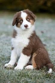 rocking m australian shepherds 11 best australian shepherds red tris images on pinterest