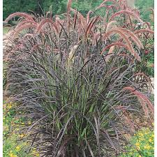 shop 1 gallon purple grass l8564 at lowes