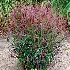 ornamental grasses zone 5 gardening guide