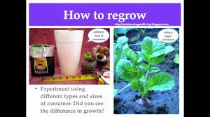 Vegetables You Can Regrow by How I Regrow Store Bought Radishes Youtube