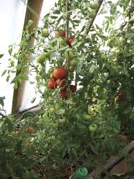 growing the northern tomato northern bc u0027s only independent