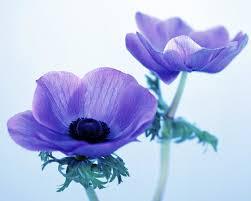 anemones flowers flowers anemones