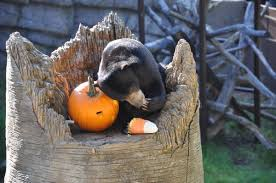 animals halloween zoo animals eating pumpkins is the best thing you u0027ll see this