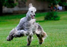 afghan hound breeders europe 30 pictures of the noble afghan hounds cutest paw