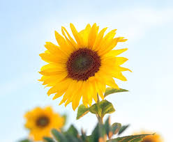 The Ultimate Sunflower Resource Guide Proflowers Blog