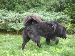 belgian shepherd newfoundland mix orphans of the storm dogs get ready for summer meet the pooches