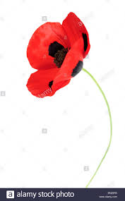 single red corn poppy flower isolated on white background with