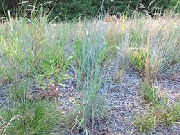 native plant solutions native grass and wildflower seeding q u0026 a with the experts