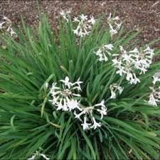white flowered society garlic tulbaghia violacea alba garden org