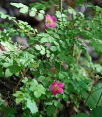 northwest native plants baldhip rose rosa gymnocarpa washington plant field guide