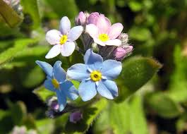 native plants of alaska myosotis wikipedia