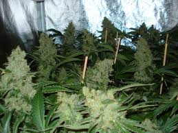 northern lights yield indoor northern light by nirvana seeds seedfinder strain info