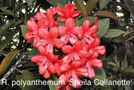 List Of Tropical Plants Names - henning u0027s rhododendron u0026 azalea pages