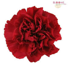 wholesale carnations wholesale carnations carnations in bulk bloomsbythebox