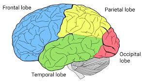 brain anatomy coloring book lobes of the brain queensland brain institute the university