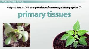 primary growth of plants video u0026 lesson transcript study com